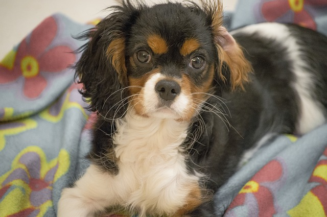 כלב קינג צ'ארלס למשפחה